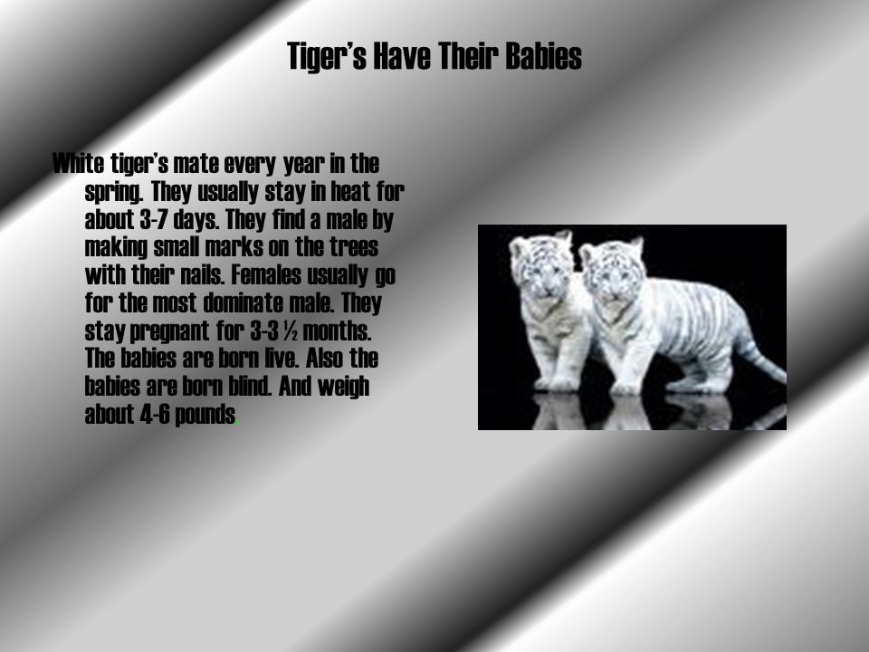 Tiger's Have Their Babies