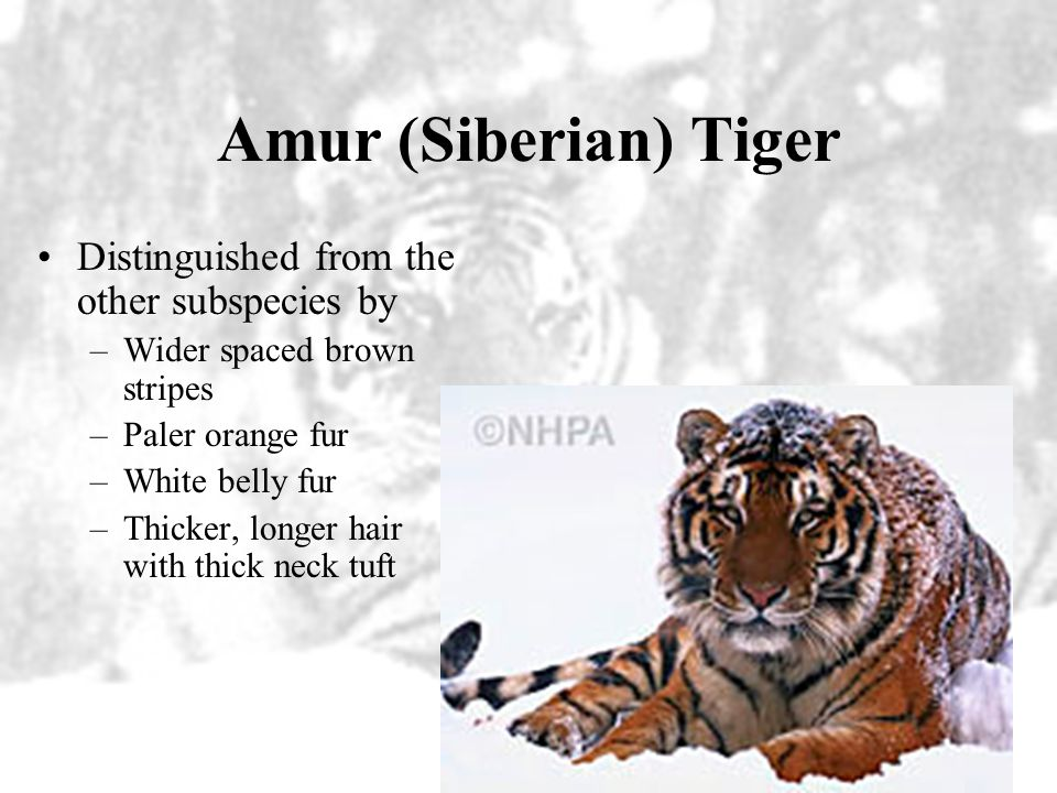 Amur (Siberian) Tiger Distinguished from the other subspecies by