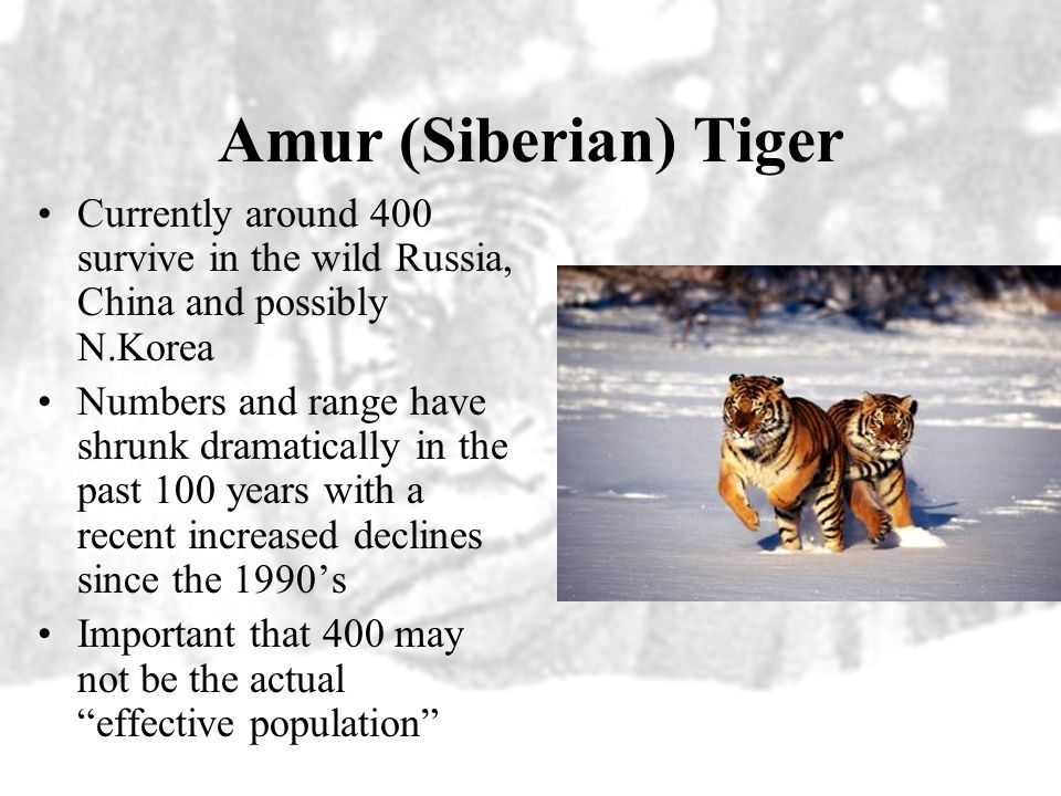 Amur (Siberian) Tiger Currently around 400 survive in the wild Russia, China and possibly N.Korea.
