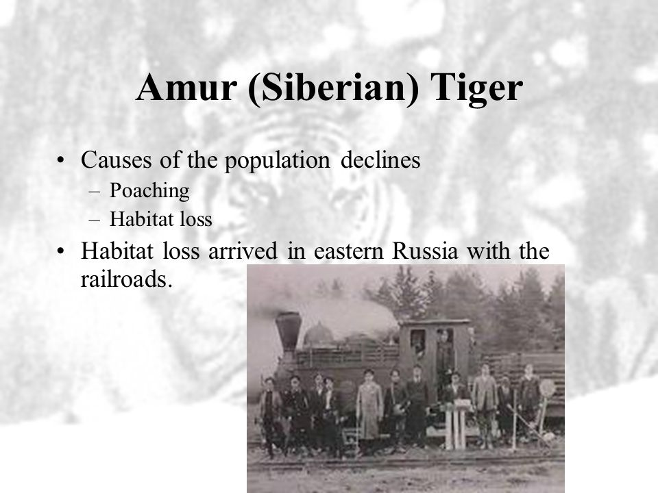 Amur (Siberian) Tiger Causes of the population declines