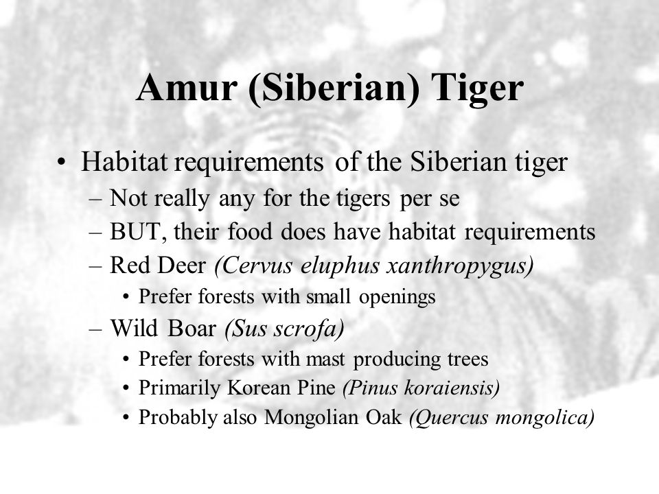 Amur (Siberian) Tiger Habitat requirements of the Siberian tiger