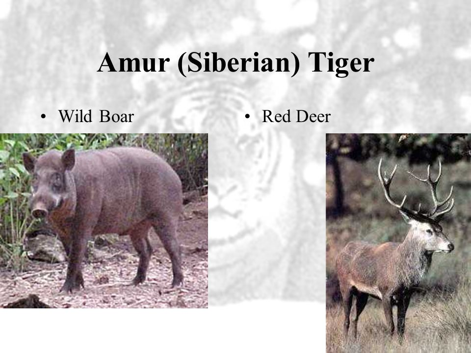 Amur (Siberian) Tiger Wild Boar Red Deer