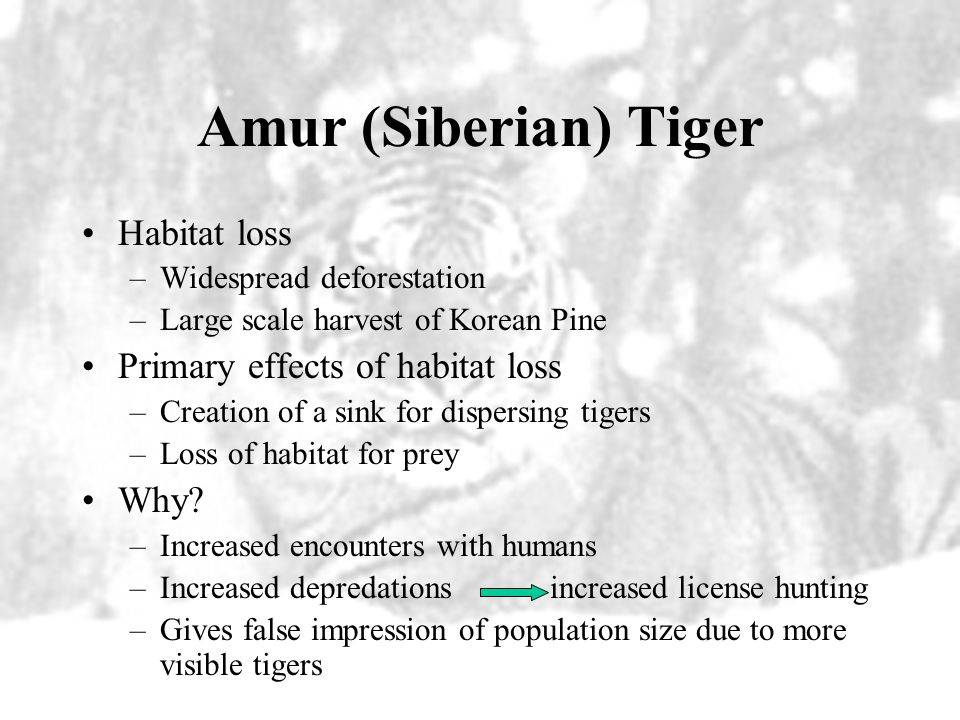Amur (Siberian) Tiger Habitat loss Primary effects of habitat loss