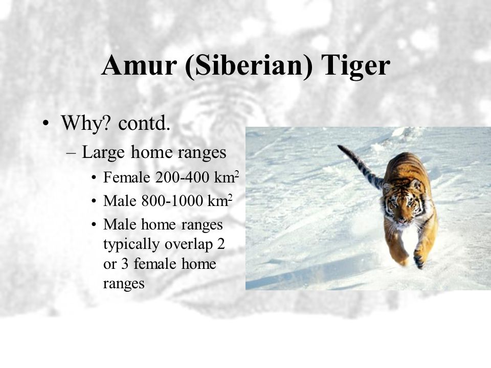 Amur (Siberian) Tiger Why contd. Large home ranges Female 200-400 km2