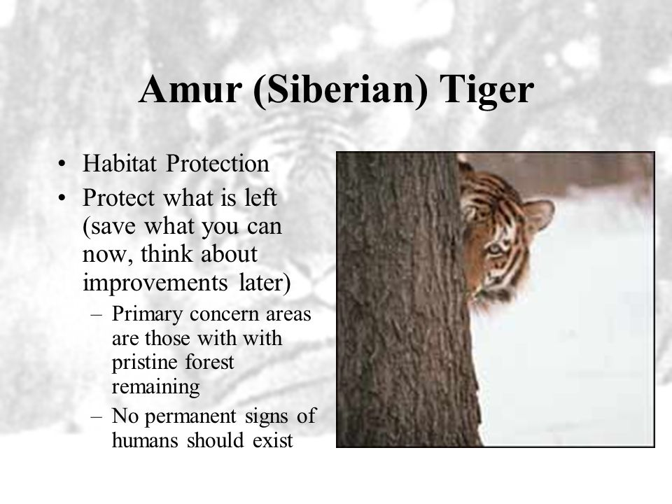 Amur (Siberian) Tiger Habitat Protection