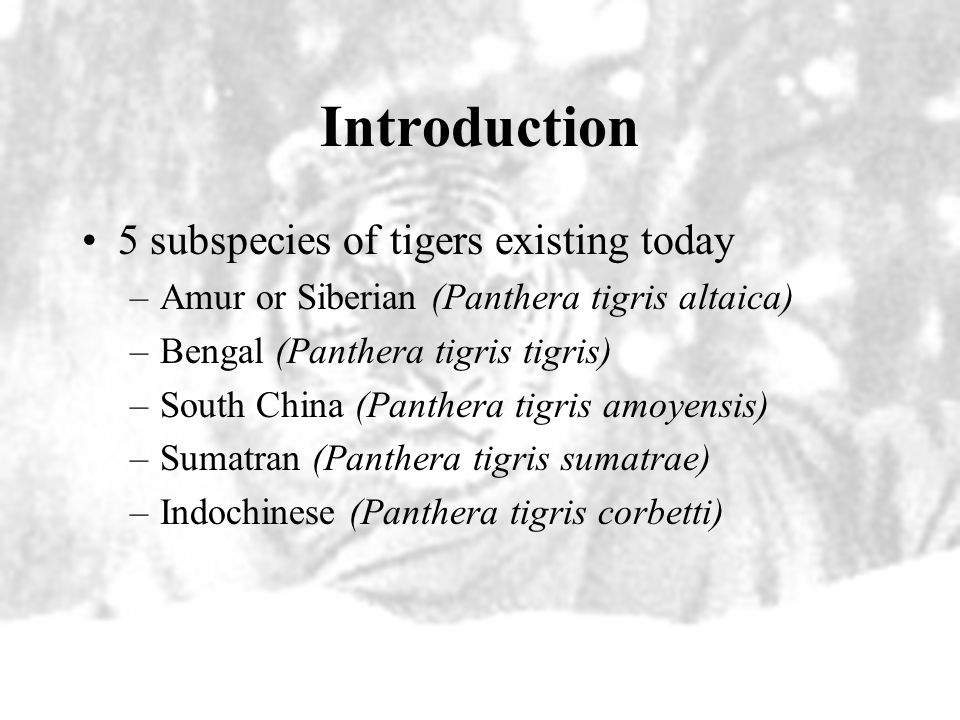 Introduction 5 subspecies of tigers existing today