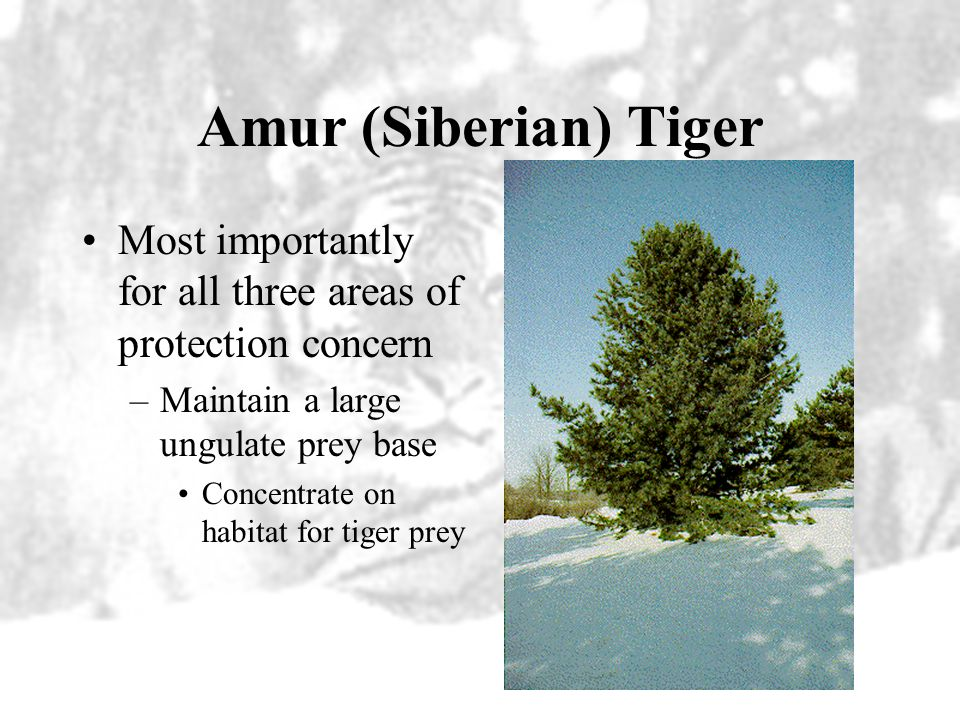 Amur (Siberian) Tiger Most importantly for all three areas of protection concern. Maintain a large ungulate prey base.