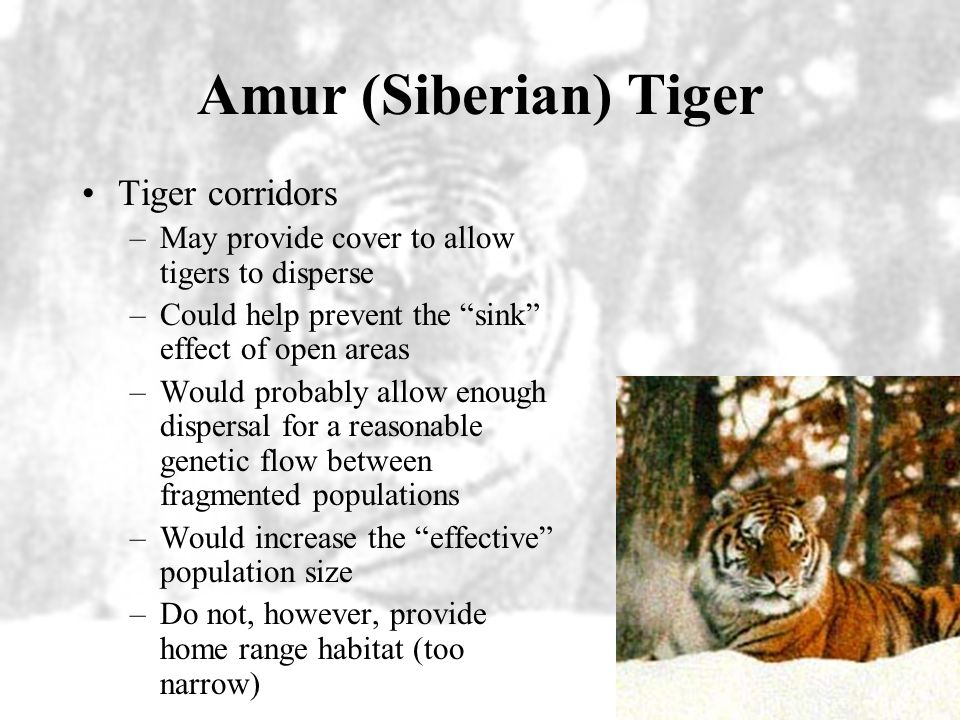 Amur (Siberian) Tiger Tiger corridors