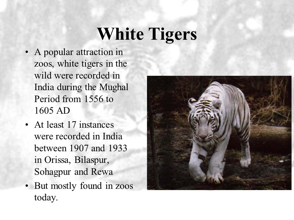 White Tigers A popular attraction in zoos, white tigers in the wild were recorded in India during the Mughal Period from 1556 to 1605 AD.
