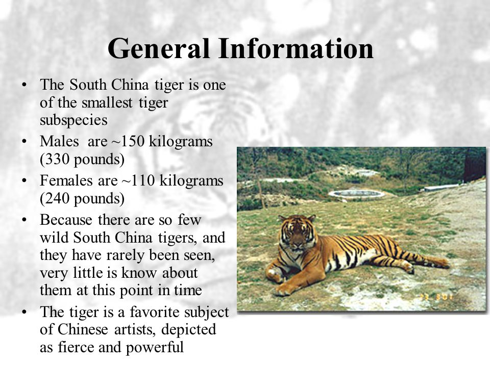 General Information The South China tiger is one of the smallest tiger subspecies. Males are ~150 kilograms (330 pounds)