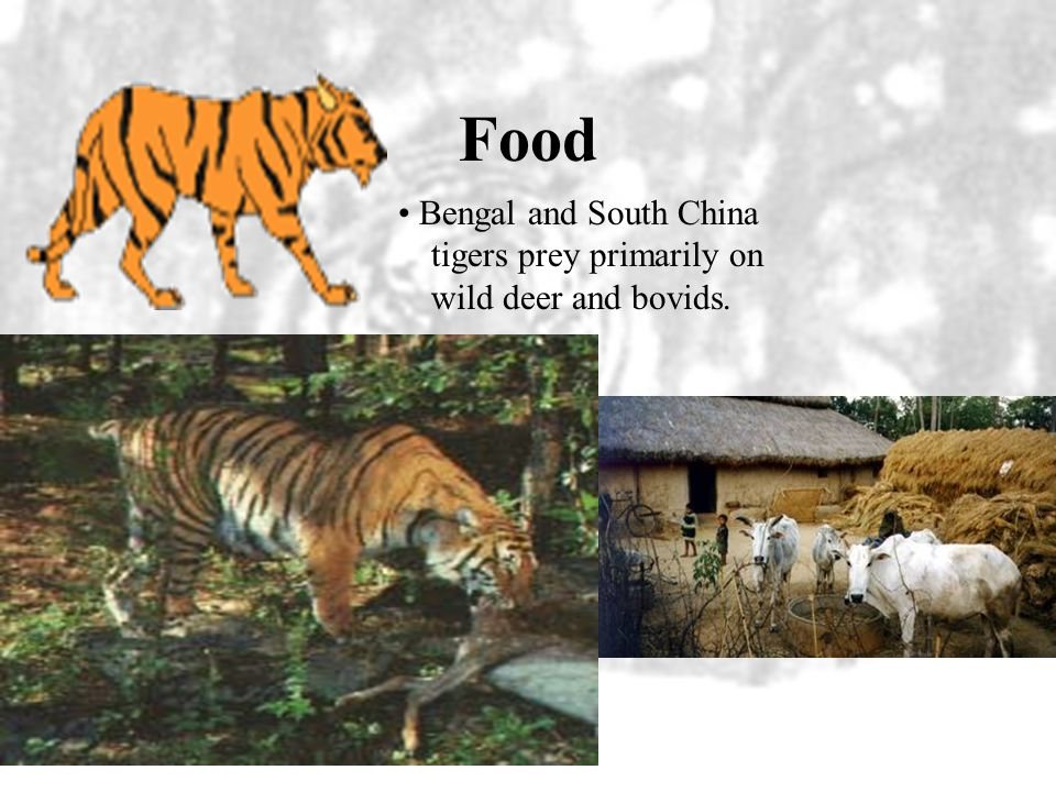 Food • Bengal and South China tigers prey primarily on wild deer and bovids.