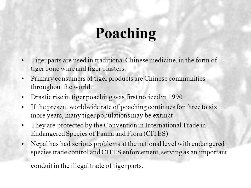 Poaching Tiger parts are used in traditional Chinese medicine, in the form of tiger bone wine and tiger plasters.