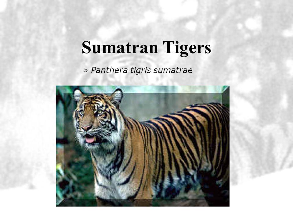 Sumatran Tigers Panthera tigris sumatrae
