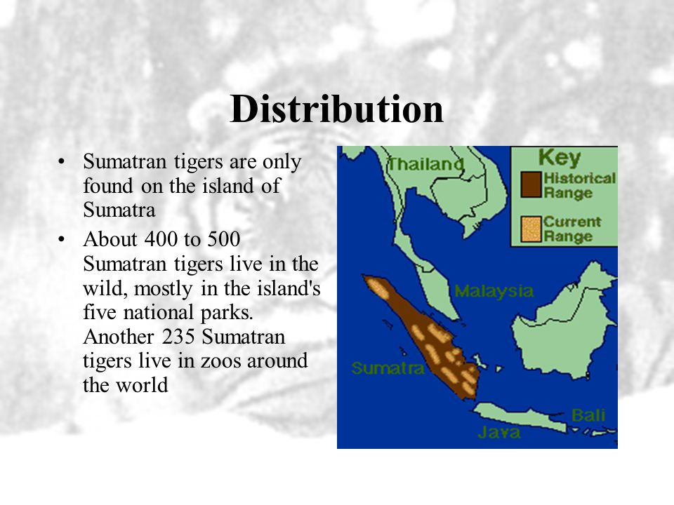 Distribution Sumatran tigers are only found on the island of Sumatra