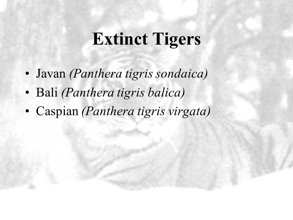 Extinct Tigers Javan (Panthera tigris sondaica)