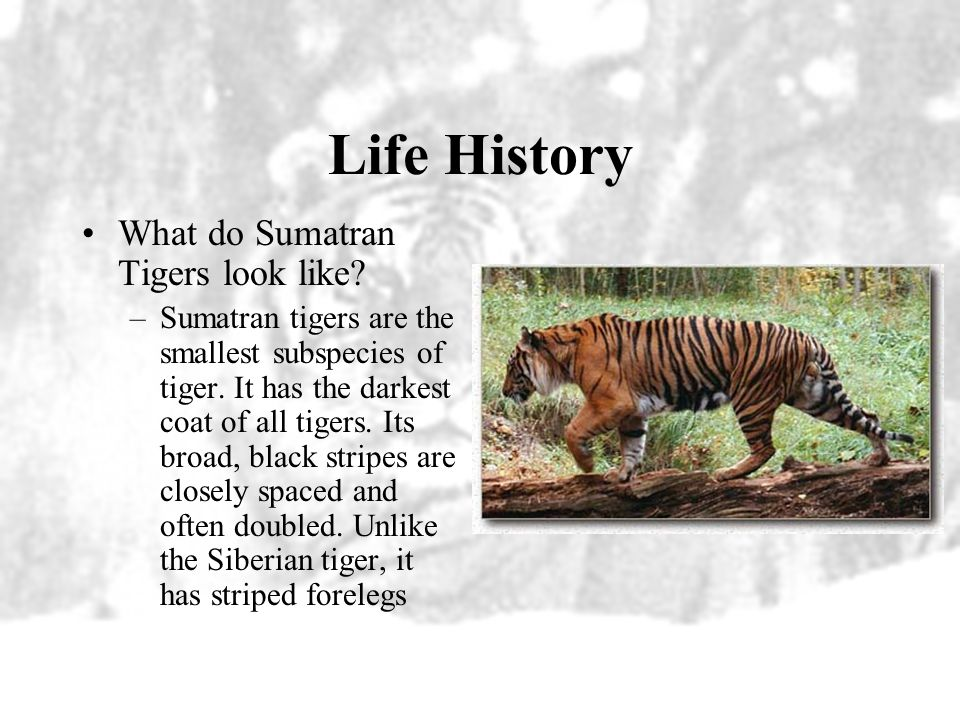 Life History What do Sumatran Tigers look like