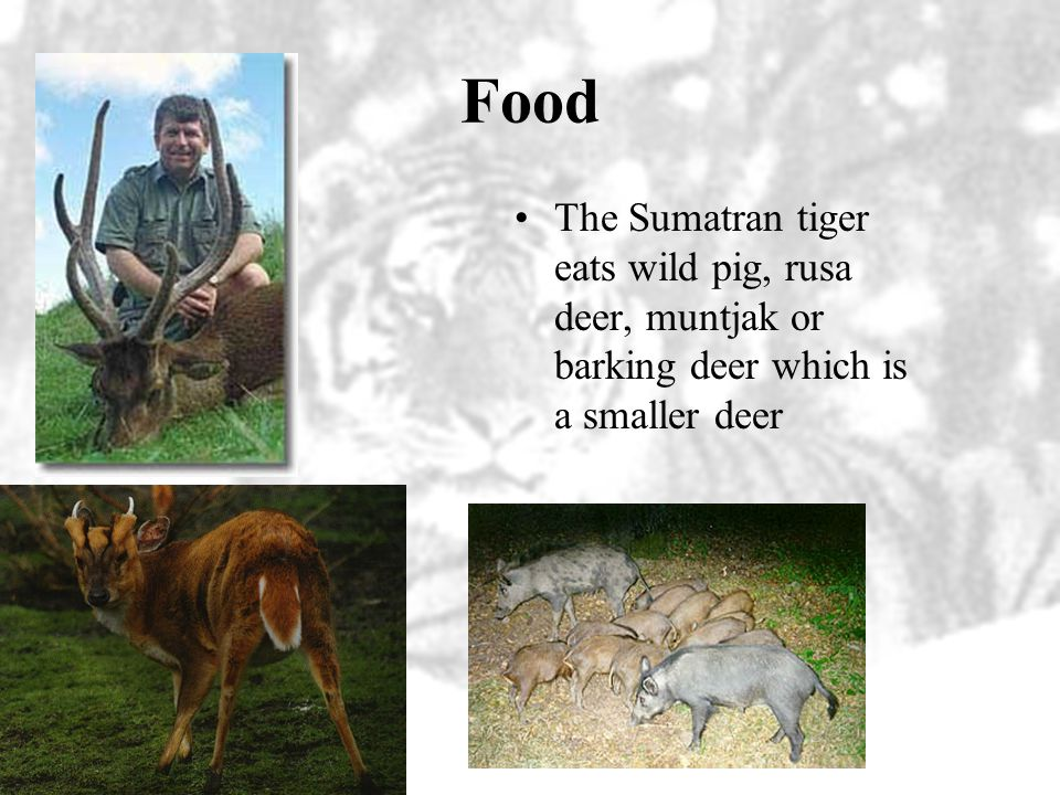 Food The Sumatran tiger eats wild pig, rusa deer, muntjak or barking deer which is a smaller deer.