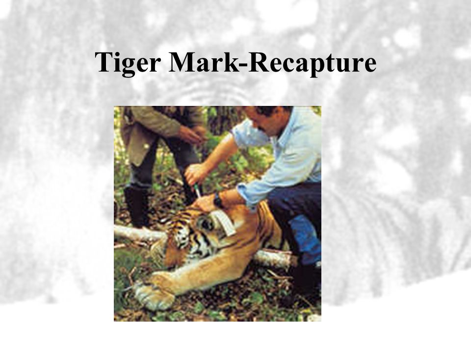 Tiger Mark-Recapture
