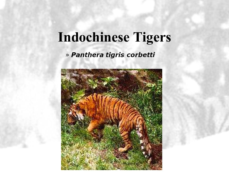 Indochinese Tigers Panthera tigris corbetti