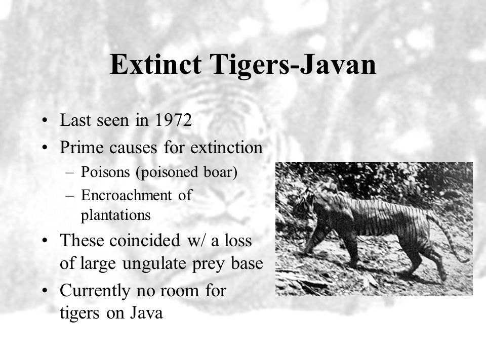 Extinct Tigers-Javan Last seen in 1972 Prime causes for extinction