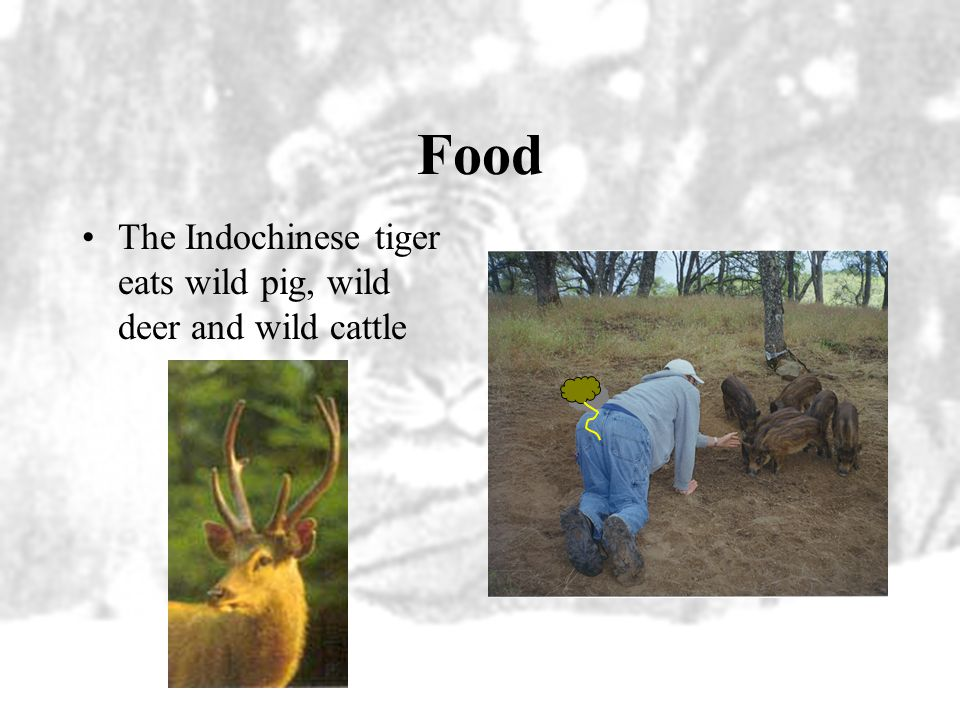 Food The Indochinese tiger eats wild pig, wild deer and wild cattle