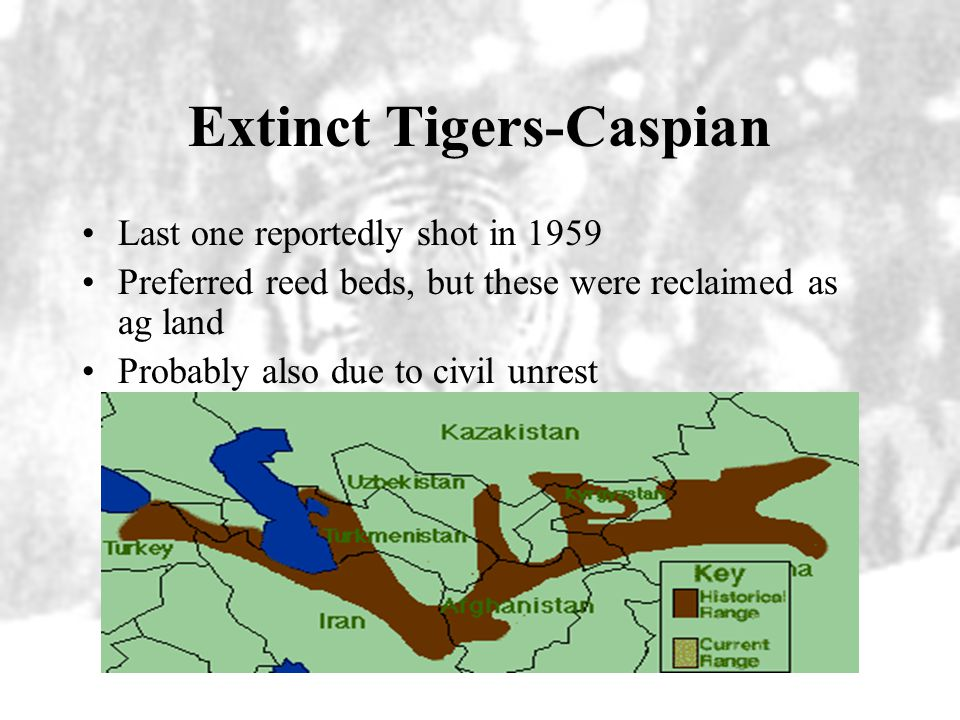 Extinct Tigers-Caspian