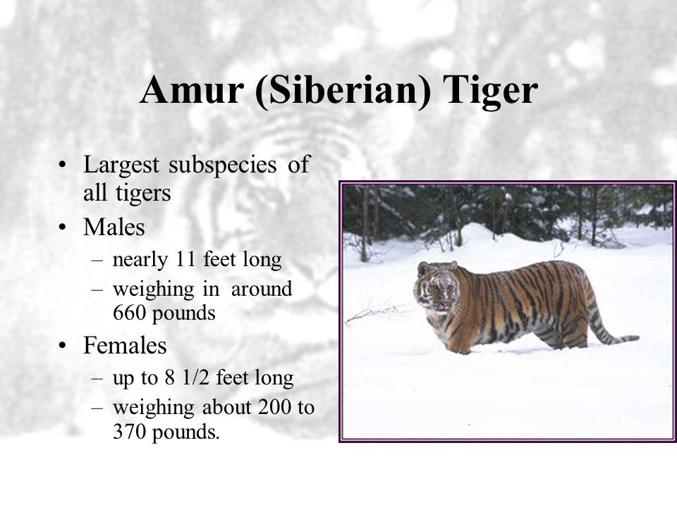 Amur (Siberian) Tiger Largest subspecies of all tigers Males Females