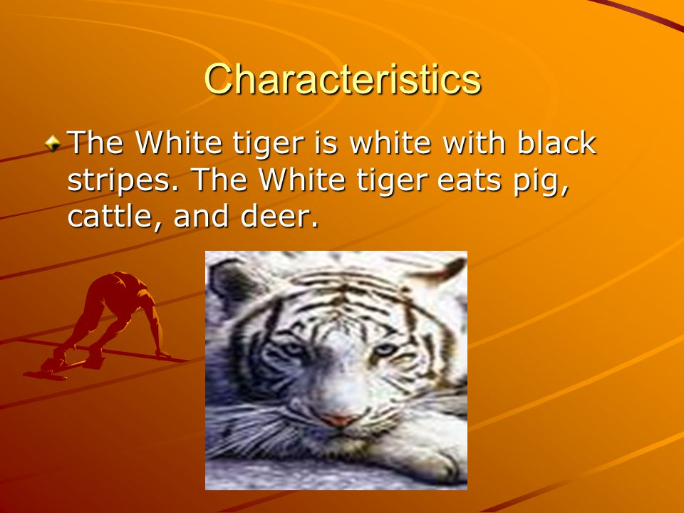 Characteristics The White tiger is white with black stripes.