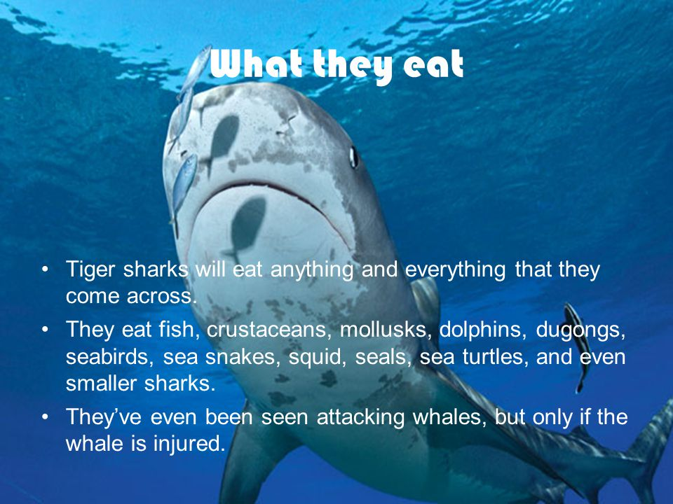 Tiger sharks by abdul ppt download for The fish that ate the whale