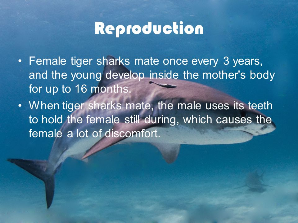 Reproduction Female tiger sharks mate once every 3 years, and the young develop inside the mother s body for up to 16 months.