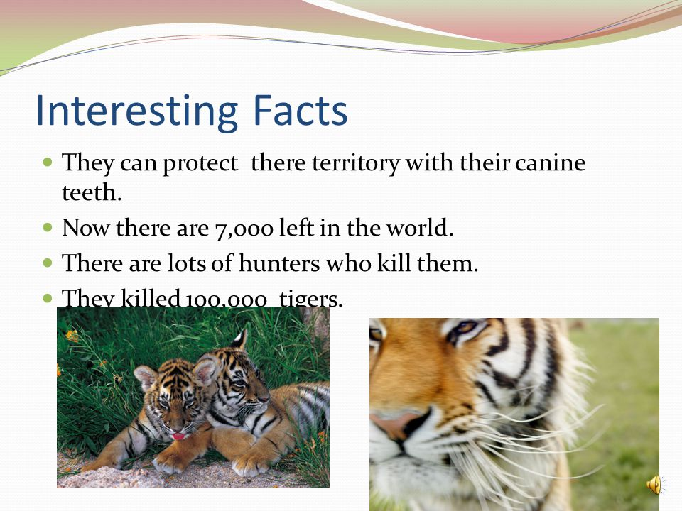 Interesting Facts They can protect there territory with their canine teeth. Now there are 7,000 left in the world.
