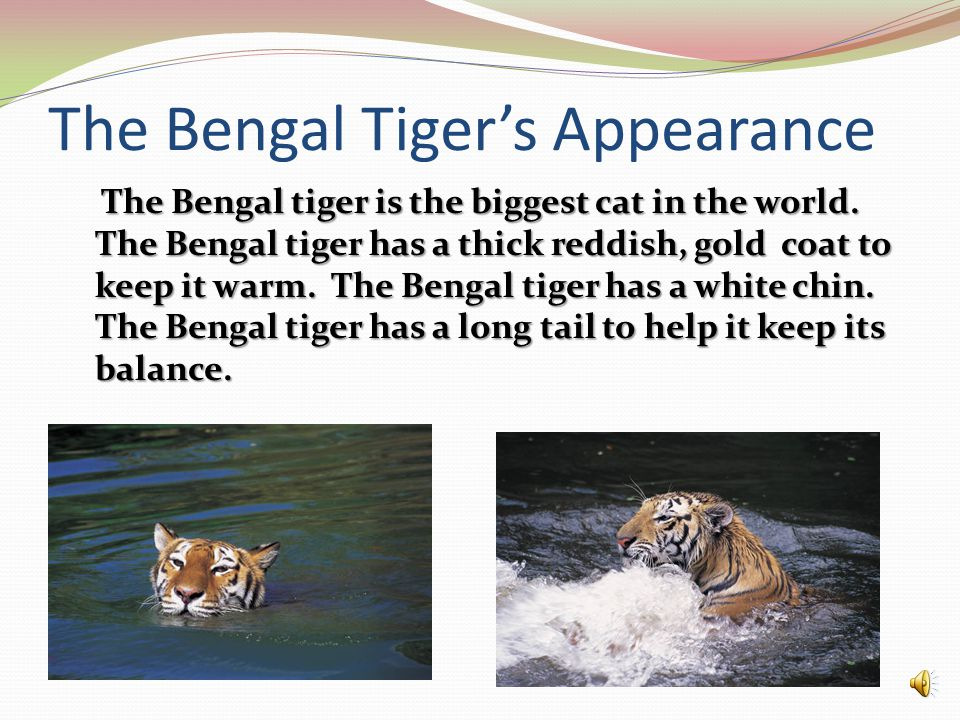 The Bengal Tiger's Appearance