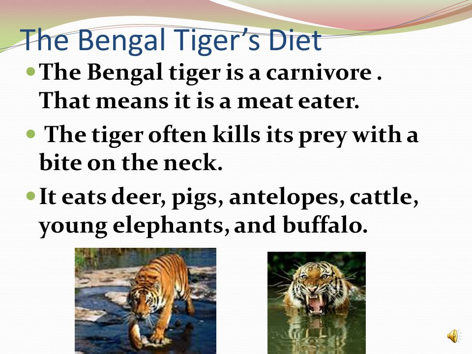 The Bengal Tiger's Diet