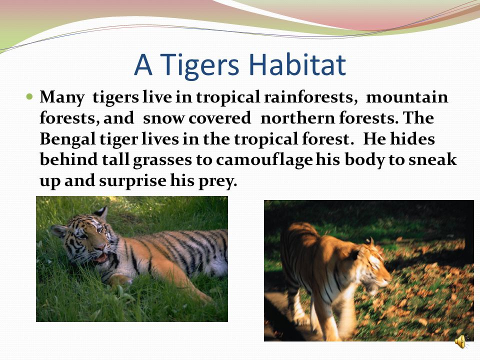 A Tigers Habitat