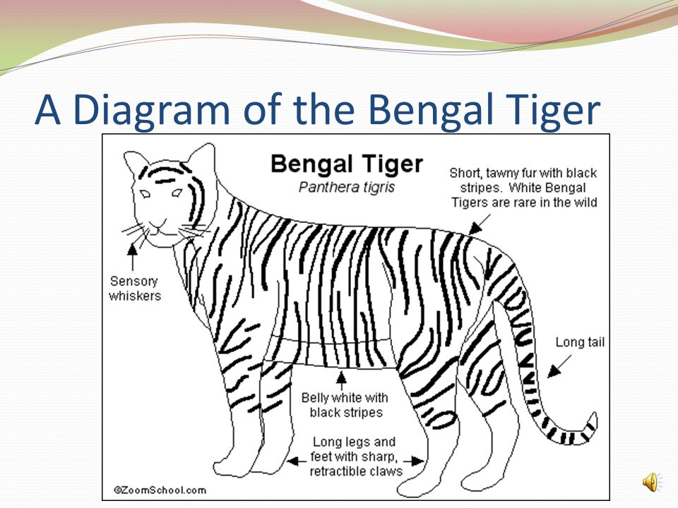 A Diagram of the Bengal Tiger