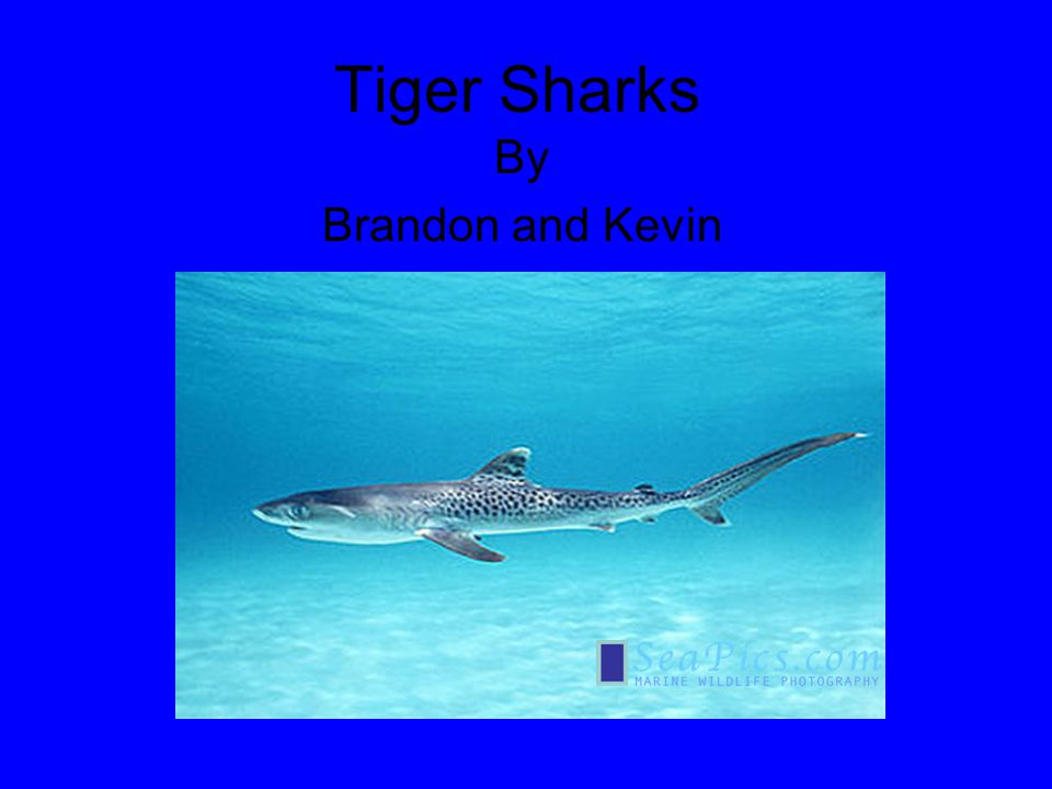 Tiger Sharks By Brandon and Kevin