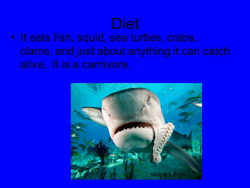 Diet It eats fish, squid, sea turtles, crabs, clams, and just about anything it can catch alive. It is a carnivore.