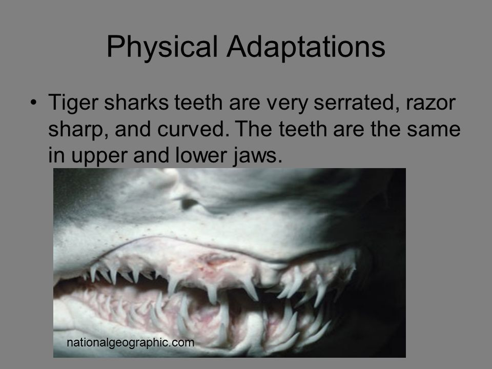 Physical Adaptations Tiger sharks teeth are very serrated, razor sharp, and curved. The teeth are the same in upper and lower jaws.