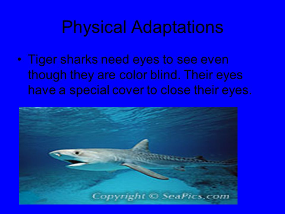 Physical Adaptations Tiger sharks need eyes to see even though they are color blind.