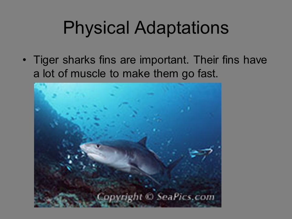 Physical Adaptations Tiger sharks fins are important.
