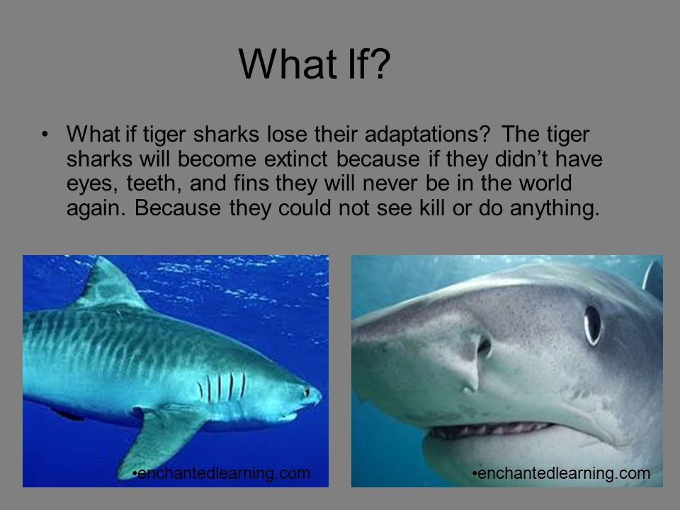 Tiger Sharks By Brandon and Kevin. - ppt download