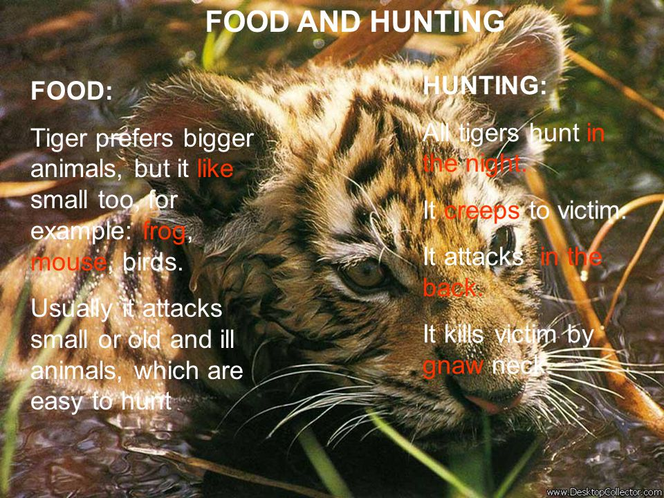 FOOD AND HUNTING HUNTING: All tigers hunt in the night. It creeps to victim. It attacks in the back.