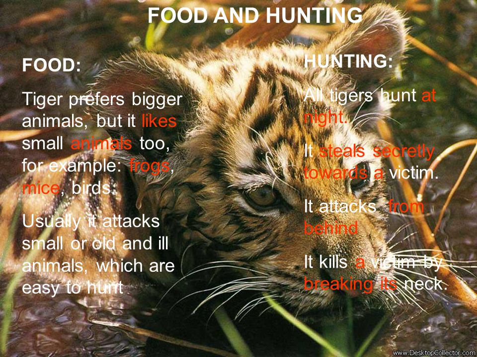 FOOD AND HUNTING HUNTING: All tigers hunt at night. It steals secretly towards a victim. It attacks from behind.