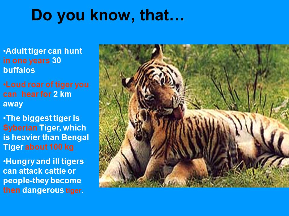 Do you know, that… Adult tiger can hunt in one years 30 buffalos