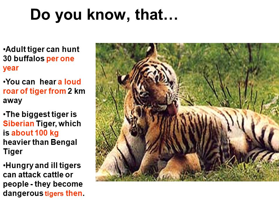 Do you know, that… Adult tiger can hunt 30 buffalos per one year