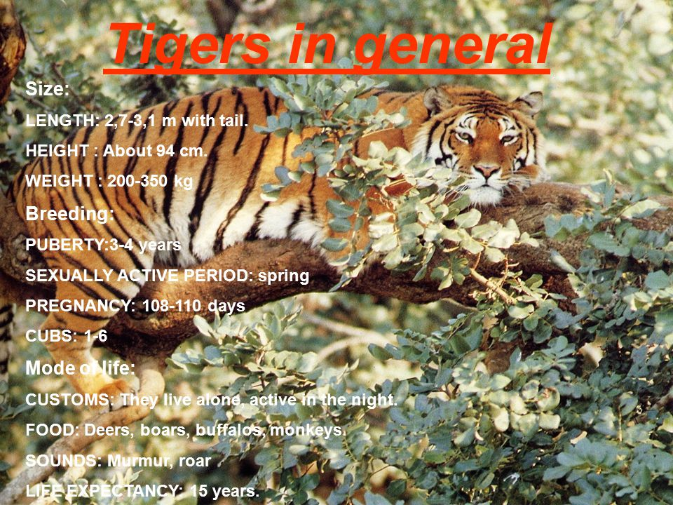 Tigers in general Size: Breeding: Mode of life: