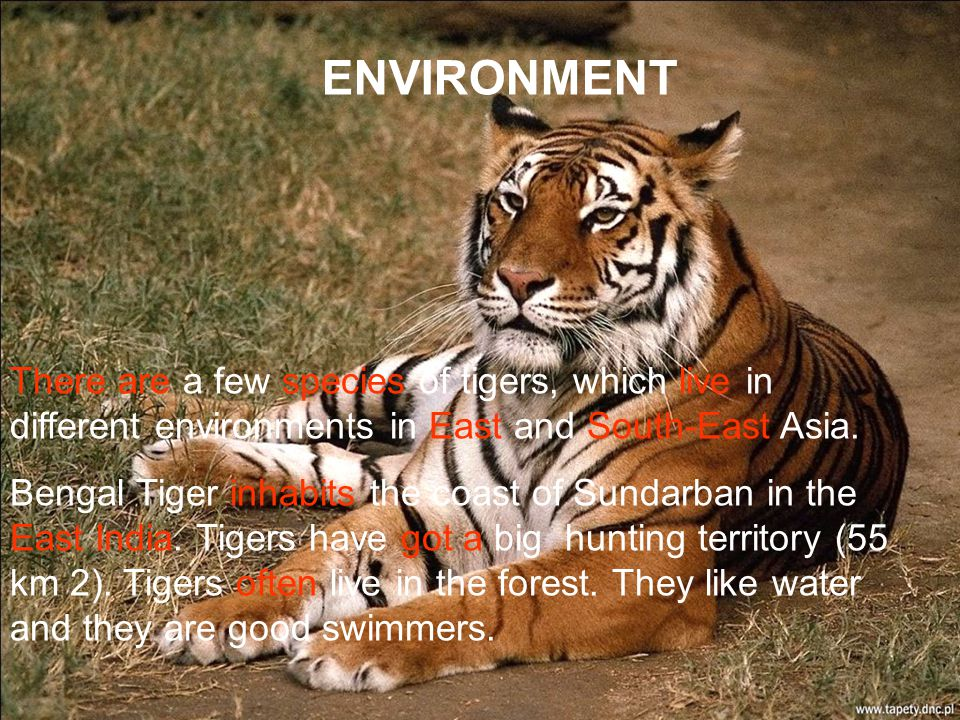 ENVIRONMENT There are a few species of tigers, which live in different environments in East and South-East Asia.
