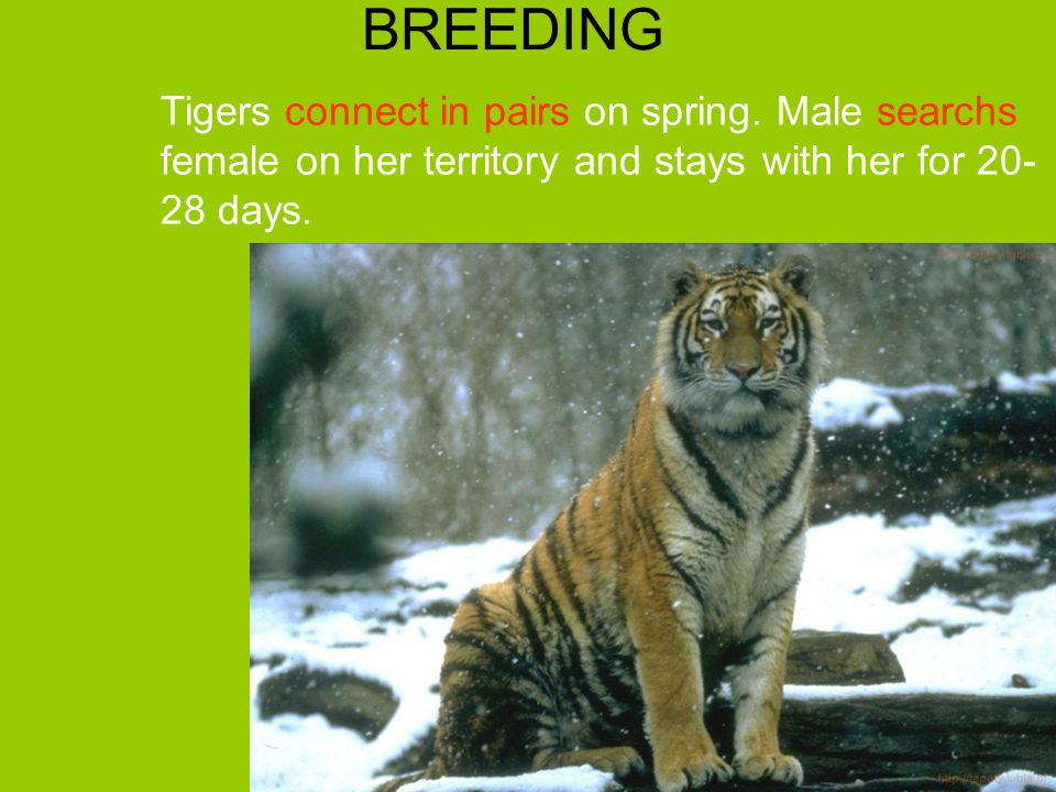 BREEDING Tigers connect in pairs on spring.