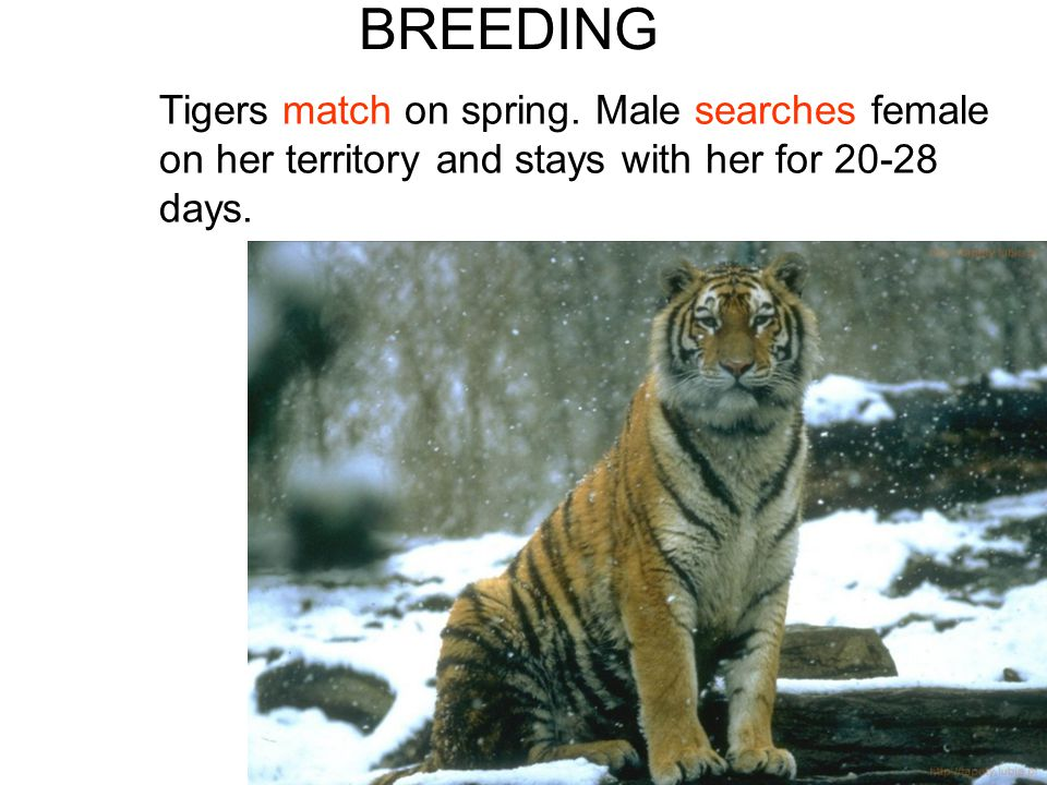 BREEDING Tigers match on spring.
