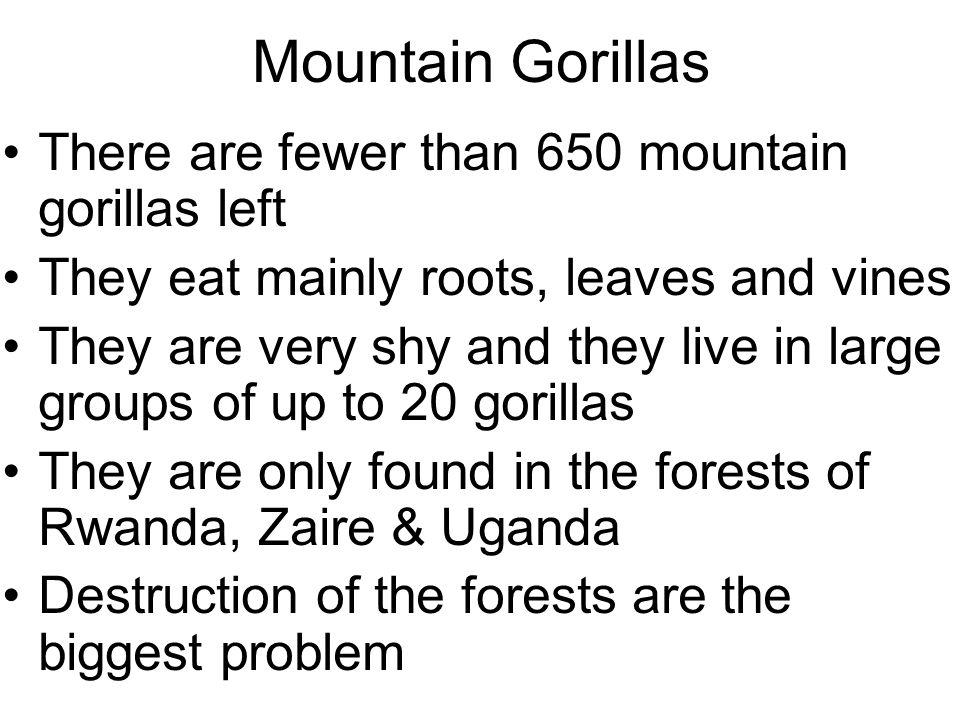 Mountain Gorillas There are fewer than 650 mountain gorillas left